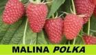 продам саженцы высокоурожайной малины сорта полка