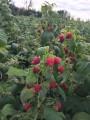 Продам саженцы малины, сорт Поляна