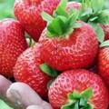 Куплю ягоду клубники.