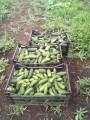 Продам грунтовые огурцы от производителя