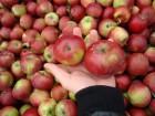Продам белорусские яблоки сорт Имрус и белорусское сладкое
