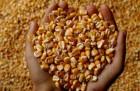 Продам Семена кукурузы Моника