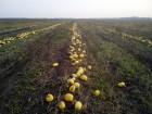 Семена тыквы Болгарка Сероволжская