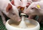 Сухое молоко корм телятам поросятам