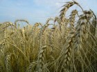 уплю пшеницу фуражную