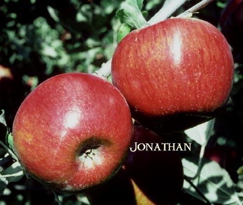 продам яблука спартан, айдаред, джонаголд, симиренка, ріхард - Изображение 7