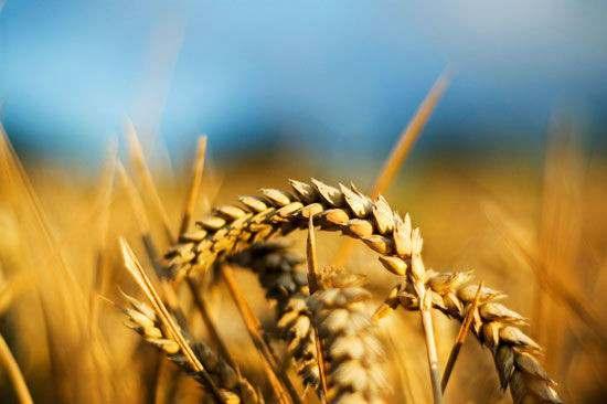 Куплю пшеницу фуражную 4,5,6 класса - Изображение 1