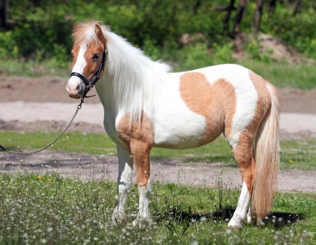 в продаже шикарная пони Мрабелла - Изображение 1
