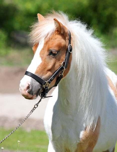 в продаже шикарная пони Мрабелла - Изображение 3