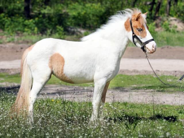 в продаже шикарная пони Мрабелла - Изображение 2