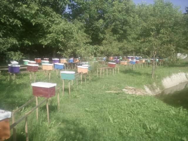 Приймаю замовлення на  Бджоломатки карпатки 2019 - Изображение 2
