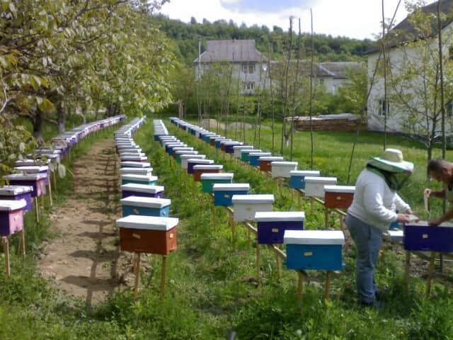 Продам бджоломатки карпатки приймаю замовлення на весну 2019 - Изображение 3