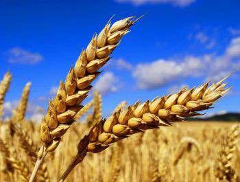 уплю пшеницу 6 класс 2018 года урожа¤ - »зображение 1