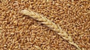 уплю пшеницу - »зображение 1