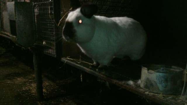Продаем племенных кроликов - Изображение 4
