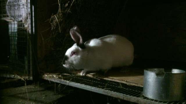 Продаем племенных кроликов - Изображение 1