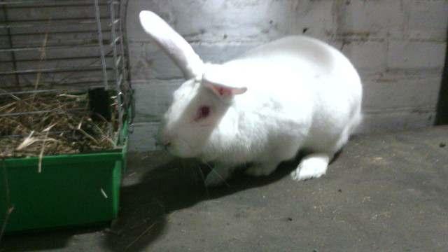 Продаем племенных кроликов - Изображение 3