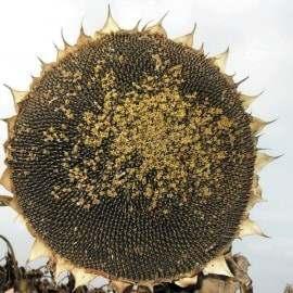 ѕродам семена подсолнечника јламо, яниш, ѕерформер, –ег≥стр, ƒоброд≥й, «лат - »зображение 1