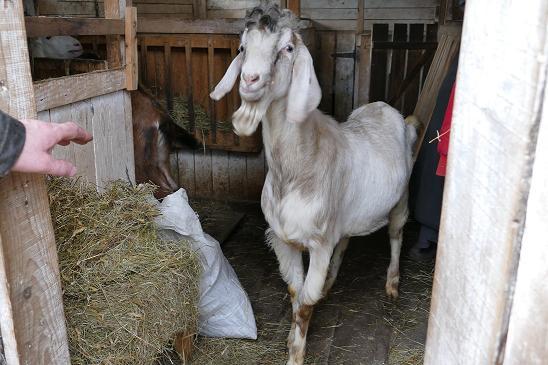 Продаются 2 породистых нубийских козла - Изображение 1