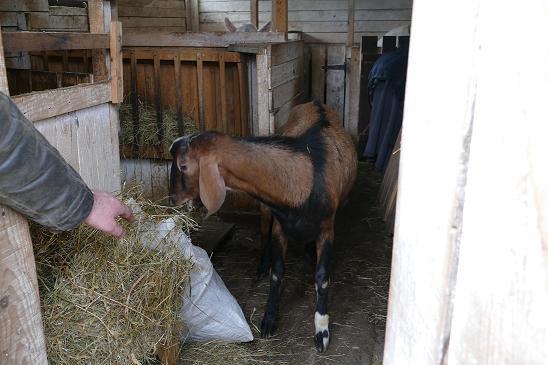 Продаются 2 породистых нубийских козла - Изображение 2