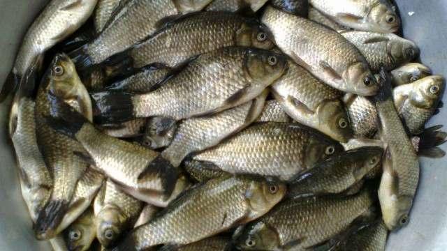 Продам живую рыбу оптом от 100 кг. карп, амур, сом, толстолоб, щука. - Изображение 2