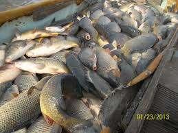 Продам живую рыбу оптом от 100 кг. карп, амур, сом, толстолоб, щука. - Изображение 1