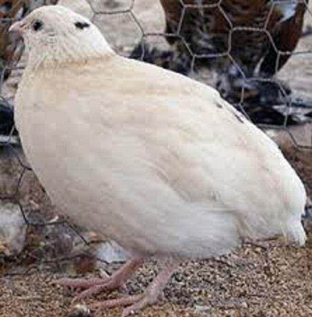 Перепелиные инкубационные яйца белого Техасского бройлера - Изображение 5