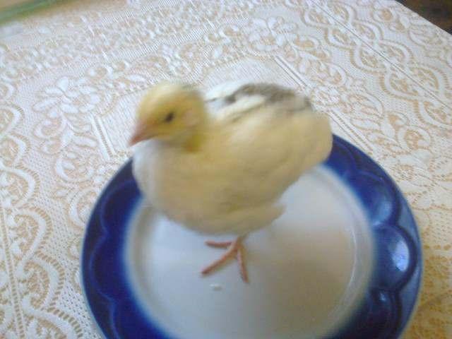 Перепелиные инкубационные яйца белого Техасского бройлера - Изображение 2