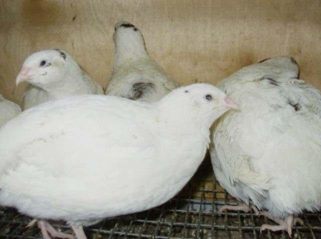Перепелиные инкубационные яйца белого Техасского бройлера - Изображение 4