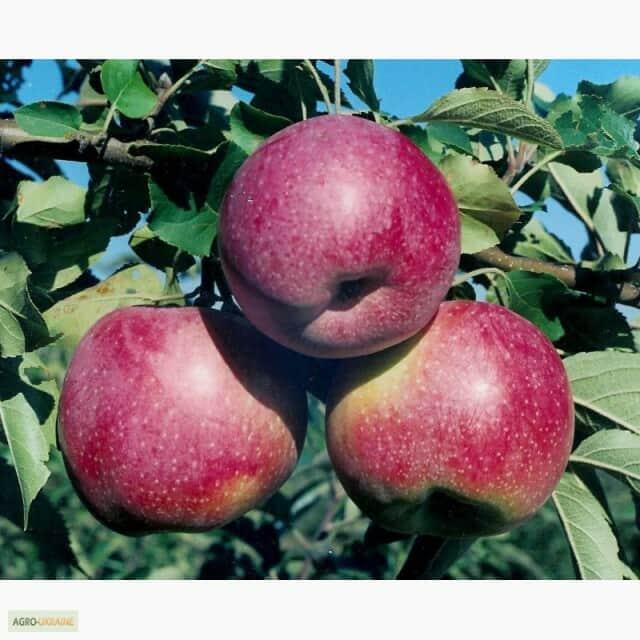 продам яблука спартан, айдаред, джонаголд, симиренка, ріхард - Изображение 5