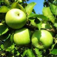 продам яблука спартан, айдаред, джонаголд, симиренка, ріхард - Изображение 4