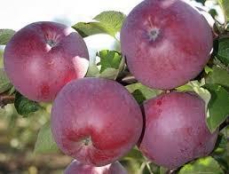 продам яблука спартан, айдаред, джонаголд, симиренка, ріхард - Изображение 2