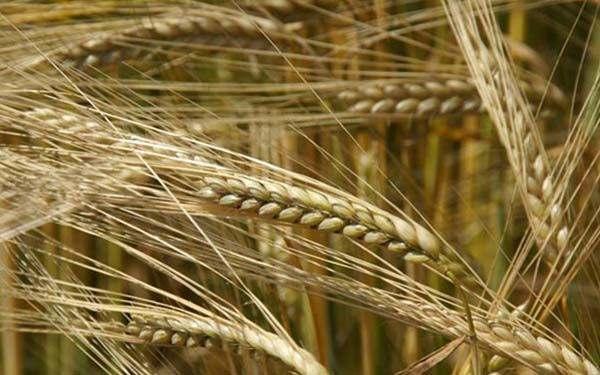 Закупаем зерновые (пшеница, ячмень, кукуруза) и бобовые. Форма 1, 2 - Изображение 1