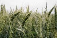 Шестопаловка (Первая репродукция) Пшеница озимая - Изображение 1