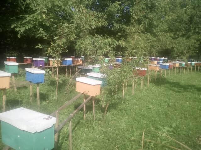 Бджоломатки карпатської породи тип вучківський - Изображение 2