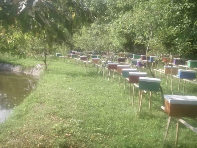 Бджоломатки карпатської породи тип вучківський - Изображение 1