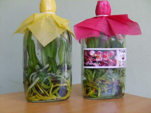 Продам саженцы орхидеи Фаленопсис (Phalaenopsis) - Изображение 2