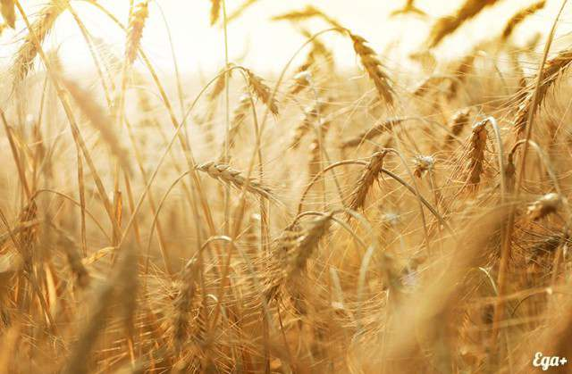 куплю пшеницу головневую - Изображение 1