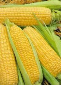 Предлагаю семена  Айова свит сортовая  кукуруза - Изображение 1