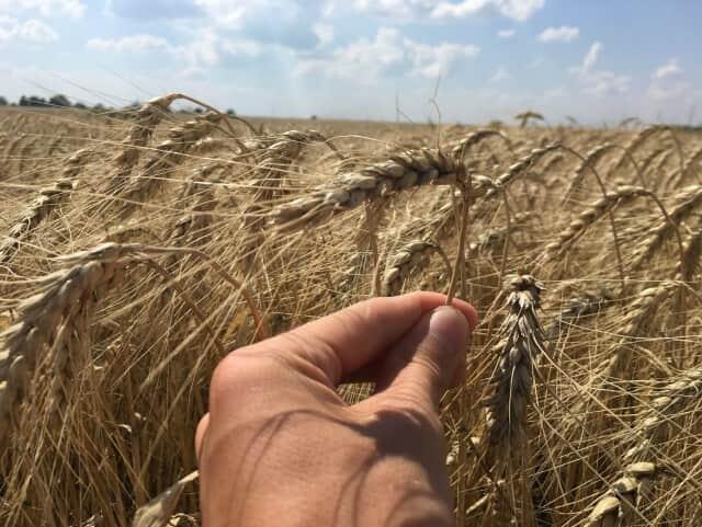 """Семена пшеницы озимой """"Ласточка Одесская"""" І репродукция - Изображение 2"""