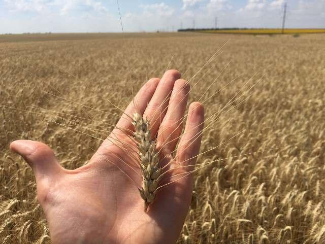 """Семена пшеницы озимой """"Ласточка Одесская"""" І репродукция - Изображение 1"""