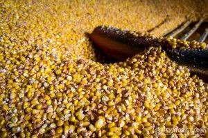 покупаем кукурузу в донецкой луганской области расмотри и в др.обл. - »зображение 1