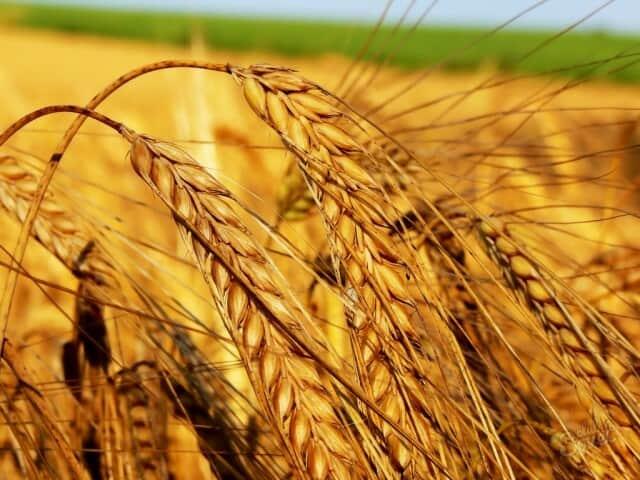 Продам посевной материал пшеницы, ячменя, кукурузы, сои, гречки, подсолнух - Изображение 5
