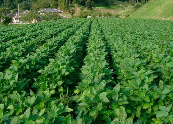 Продам посевной материал пшеницы, ячменя, кукурузы, сои, гречки, подсолнух - Изображение 2