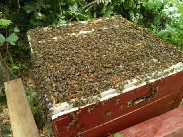 Пчелопакеты Одесская обл - Изображение 1